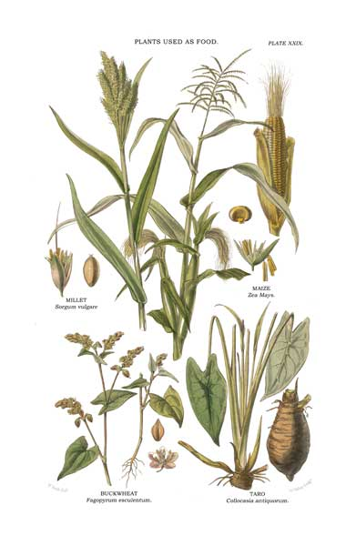 Plants Used as Food 1 - FITCH, W.