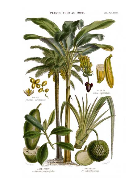 Plants Used as Food 2 - FITCH, W.