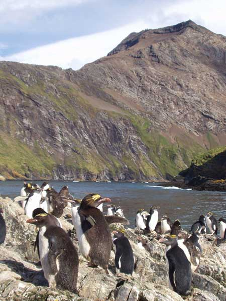 Macaroni Penguins - FORESTER-BENNETT, Rupert