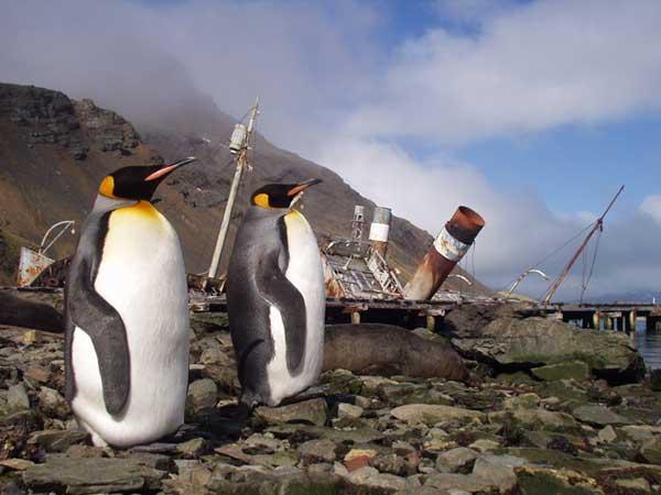 Gryt Penguins - FORESTER-BENNETT, Rupert