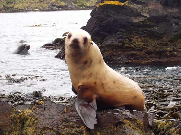 Ocean Albino Fur Seal - FORESTER-BENNETT, Rupert