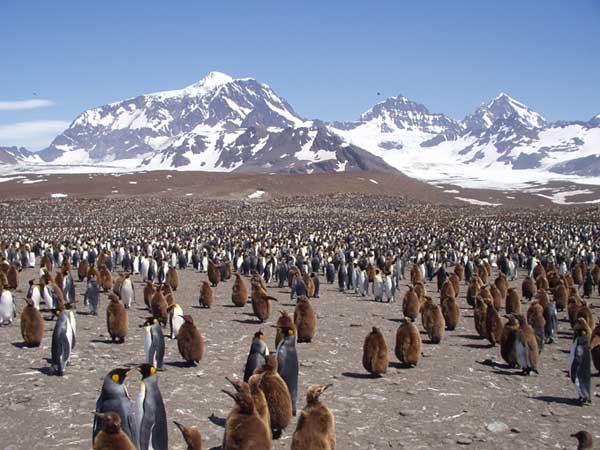 March of the Penguins at St Andrews - FORESTER-BENNETT, Rupert
