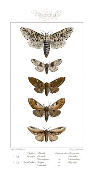 Moths - NOEL, A.