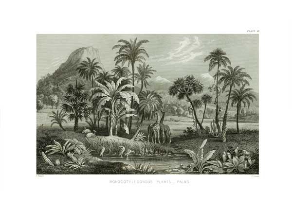 Monocotyledonous Plants Palms - STEWART, James